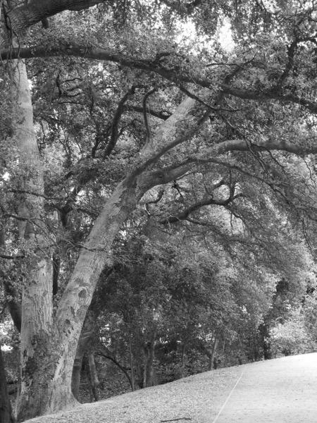 California Live Oaks Series 2 of 4