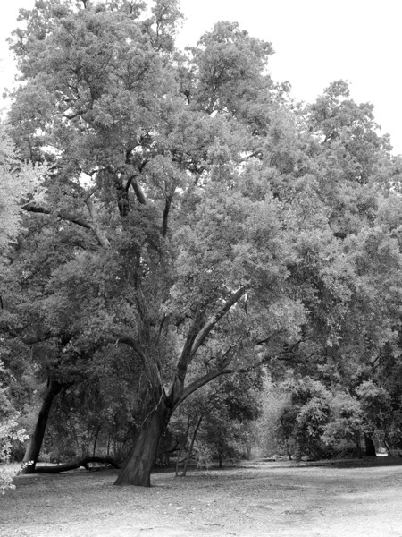 California Live Oaks Series 4 of 4 copy