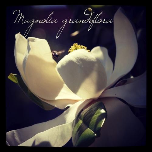 Garden Alphabet: Magnolia Grandiflora