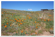 Antelope Valley California Poppy Reserve 2003