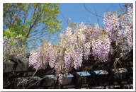 Wisteria photo from Lake Balboa, Van Nuys, California