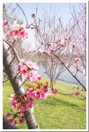 Cherry Trees at Lake Balboa