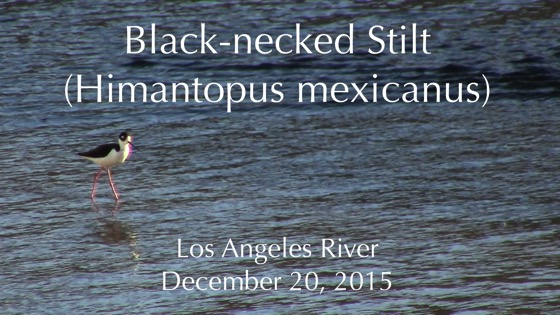 Black-necked Stilt (Himantopus mexicanus) in the Los Angele River (Silent) [Video]