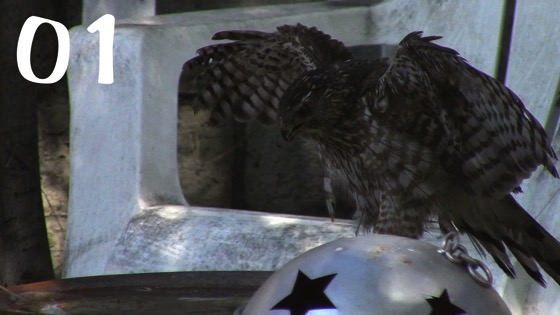 Cooper's Hawk (Accipiter cooperii) – 1 in a series [Video]