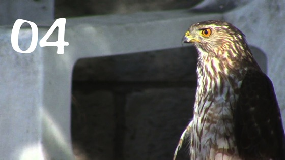 Cooper's Hawk (Accipiter cooperii) Closeup – 4 in a series from My Word with Douglas E. Welch [Video]