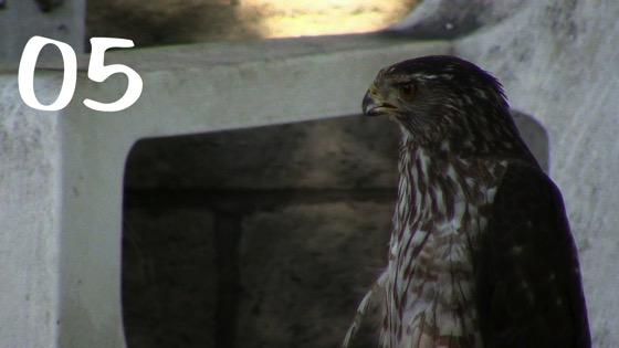 Cooper's Hawk (Accipiter cooperii) Closeup – 5 in a series from My Word with Douglas E. Welch [Video]