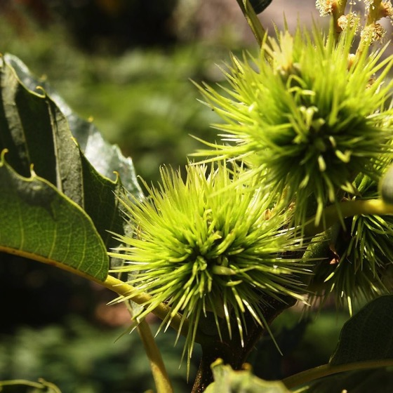 Chestnuts at The Old House on the flanks of Mount Etna via Instagram [Photo]