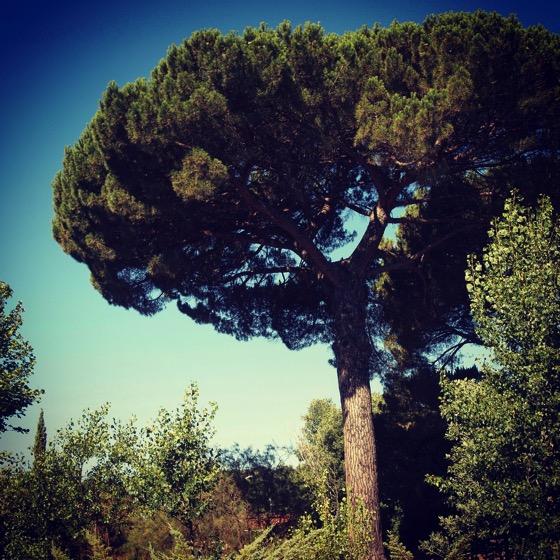 Stone Pine (?), Parco dell'Etna, Sicily, Italy via Instagram [Photo]