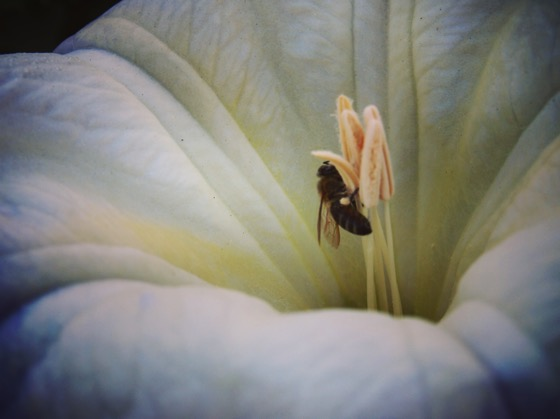 Bee on Datura Flower, Los Angeles River [Photo]