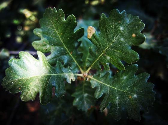 Oak Leaves, Sicily, Italy [Photo]