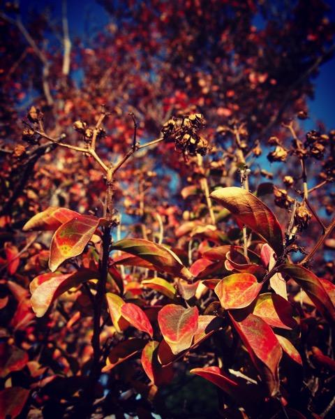 Crape myrtle leaves in Autumn [Photo]