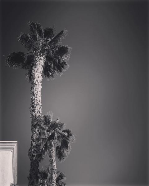 Desert Palms [Photo]