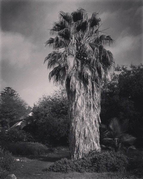 Palm tree in Black and White [Photo]