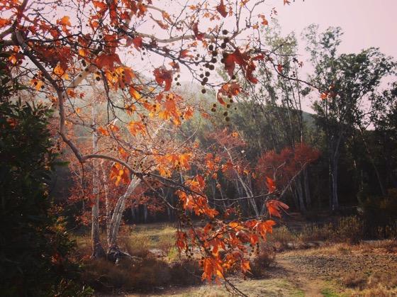 Sycamores of the Santa Monica Mountains [Photo]