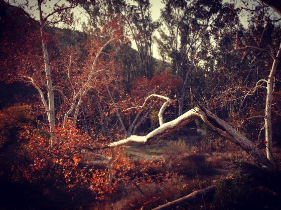 Sycamores, Santa Monica Mountain, California [Photo]