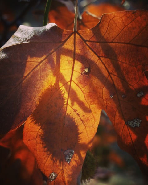 Sycamore Leaves and Seeds [Photo]