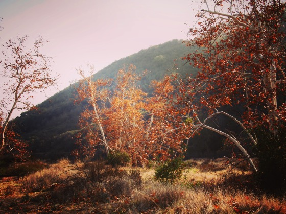 Sycamore Trees – Santa Monica Mountains [Photo]
