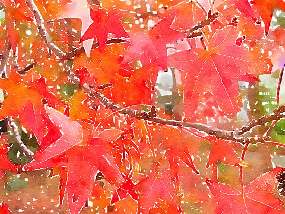 Liquidambar leaves (Watercolor)