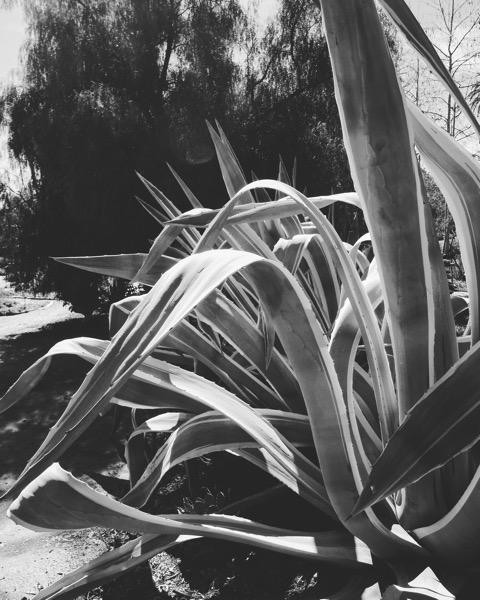 Agave in Black & White