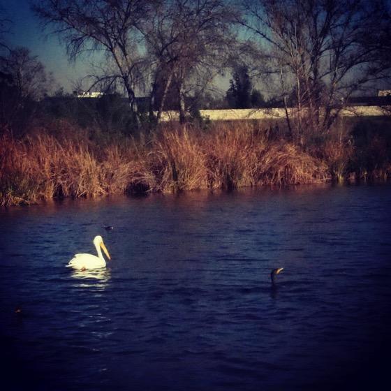 Pelican and Cormorant