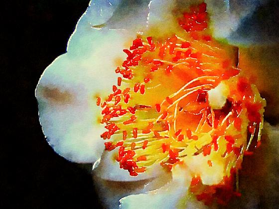 White Camellia Watercolor