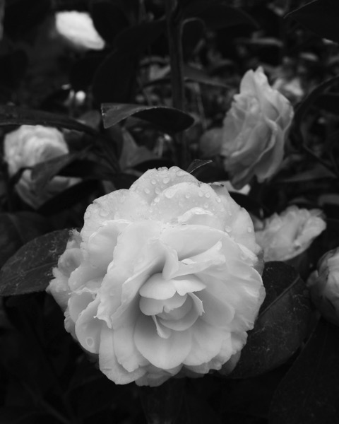 Camellia with raindrops