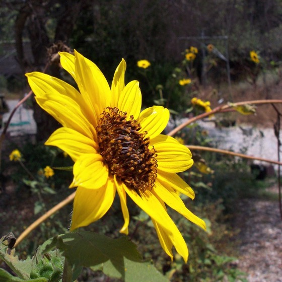 Canyon Sunflower