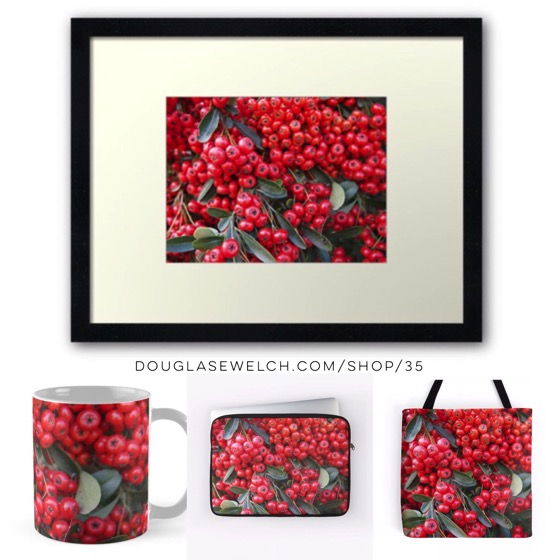 Get these shockingly red Pyracantha Berries for your home, phone or office