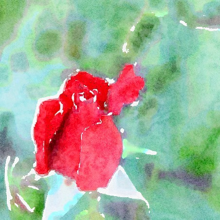 Blood Red Rose In Watercolor