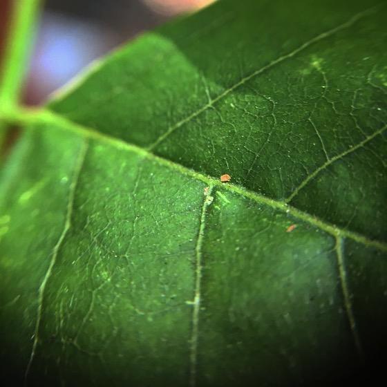 Wisteria Leaf Macro
