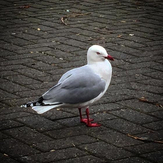 Red-footed gull (Chroicocephalus novaehollandiae scopulinus) via Instagram