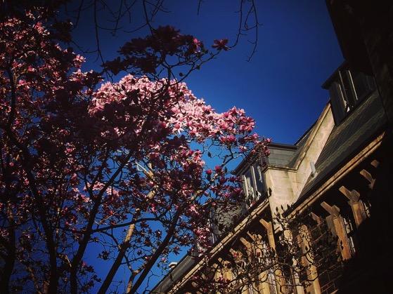 Saucer Magnolia on the grounds of University of Otago, Dunedin, New Zealand via Instagram