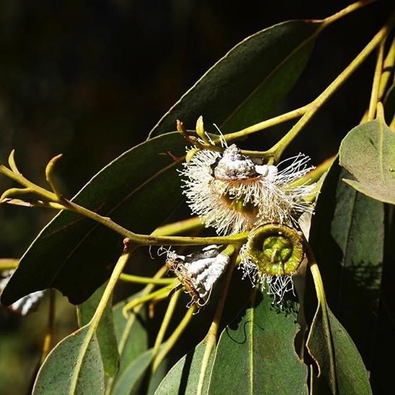 Eucalyptus Flowers, Santa Cruz Island via Instagram