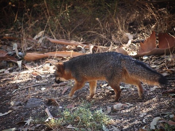 Channel Island Fox (Urocyon littoralis), Santa Cruz Island via Instagram