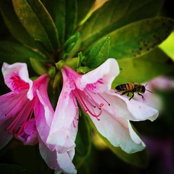 Azalea with bee from My Instagram