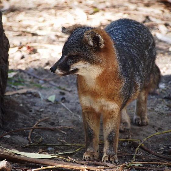 Channel Island Fox (Urocyon littoralis), Santa Cruz Island via My Instagram