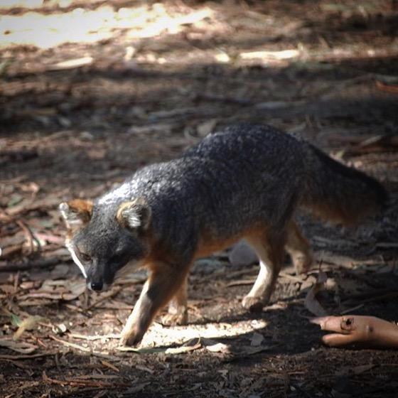 Channel Island Fox (Urocyon littoralis), Santa Cruz Island via Instagram