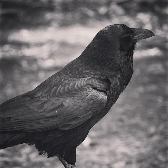 Raven Portrait 2 from My Instagram
