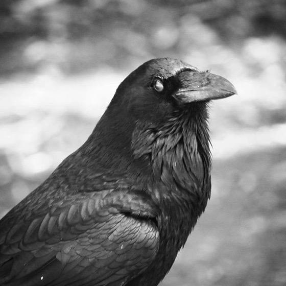 Raven Portrait 3 from My Instagram