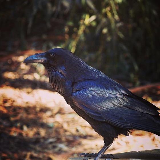 Raven Portrait via My Instagram