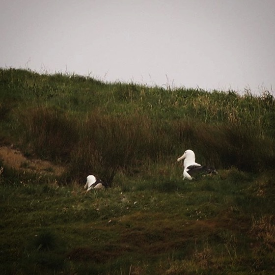 Royal Albatross Nesting via My Instagram