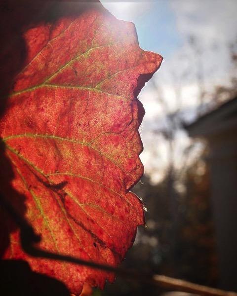 Autumn Grape Leaf backlit by the sun via My Instagram