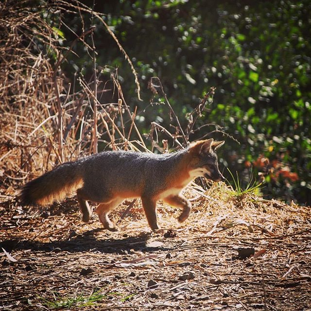Channel Island Fox (Urocyon littoralis), Santa Cruz Island from My Instagram