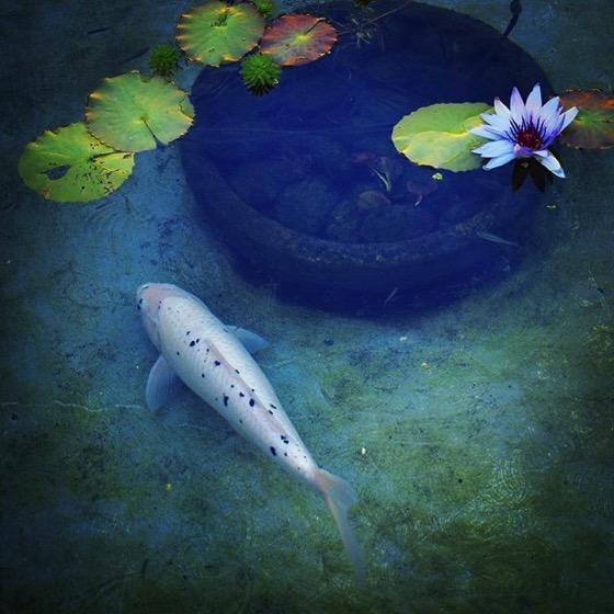 Koi Pond with Water Lilies via My Instagram