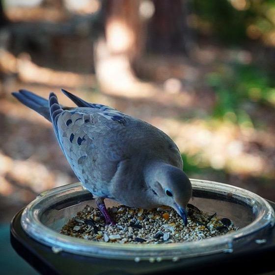 Mourning Dove (Zenaida Macroura) Up Close via My Instagram