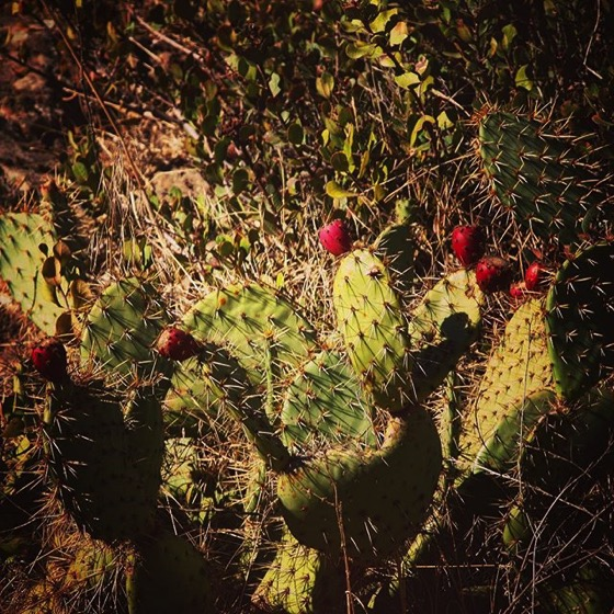 Prickly Pear (Opuntia) on Santa Cruz Island via My Instagram