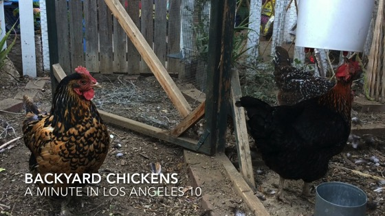 Backyard Chickens – A Minute in Los Angeles 9 from My Word [Video]