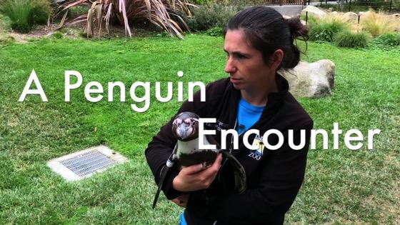 A Penguin Encounter at the Santa Barbara Zoo – Humboldt Penguin (Spheniscus humboldti) [Video] (3:23)