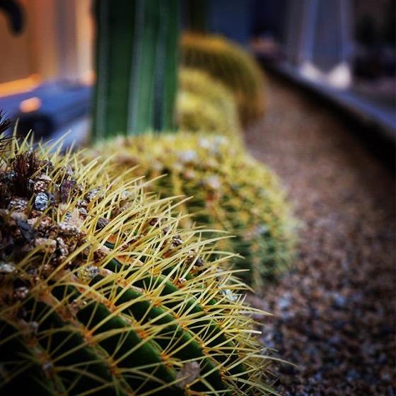 Cacti all in a row via My Instagram