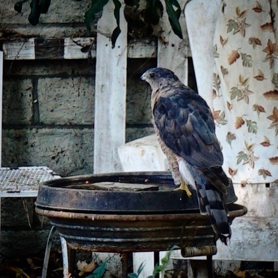Our regular visitor, a Cooper's Hawk, is drinking at the birdbath again today.  via Instagram